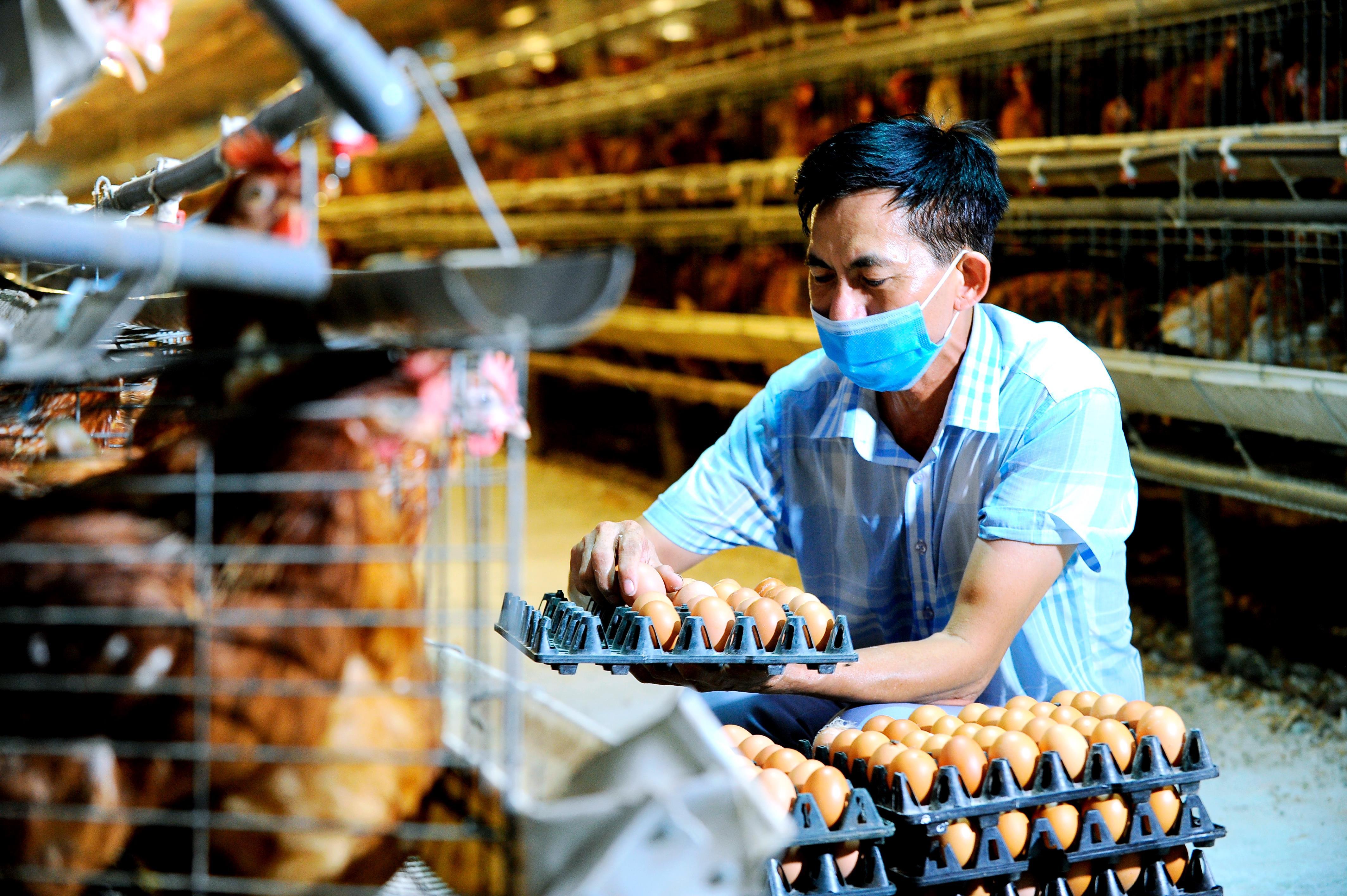 Là cơ sở nuôi gà đẻ trứng lớn nhất nhì Hải Dương, mỗi ngày xuất bán hơn 4 vạn quả, nhưng trước kia ông Đào Hữu Thuân ở xã Cẩm Đông (Cẩm Giàng) chỉ mải lo sản xuất, còn việc tiêu thụ vẫn theo nếp cũ vì gia đình có nhiều mối quen đổ buôn ở trong và ngoài tỉnh. Sau biến cố vì dịch Covid-19 làm trứng gà khó bán theo cách truyền thống, ông Thuân mới bắt đầu tìm hiểu về bán hàng trực tuyến.